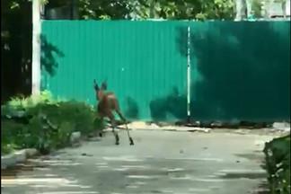 «Разбил всю мордочку»: во дворах Эльмаша заблудился маленький олененок