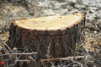 На Эльмаше ради лыжероллерной трассы срубят почти тысячу деревьев