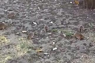 «Забирают еду у голубей»: на Эльмаше возле кинотеатра обнаружили стаю крыс