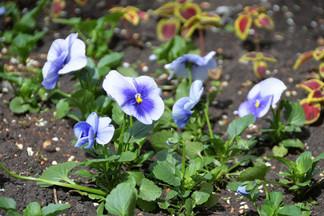 Цветы украсят более 40 площадок в Орджоникидзевском районе: ведутся работы по высадке рассады