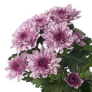 Магазин цветов Цветы на Бульваре Хризантема кустовая - фото 1